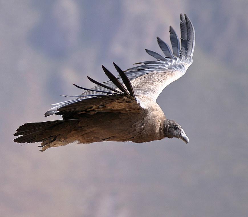 Atacama Peru Reizen Condor 2