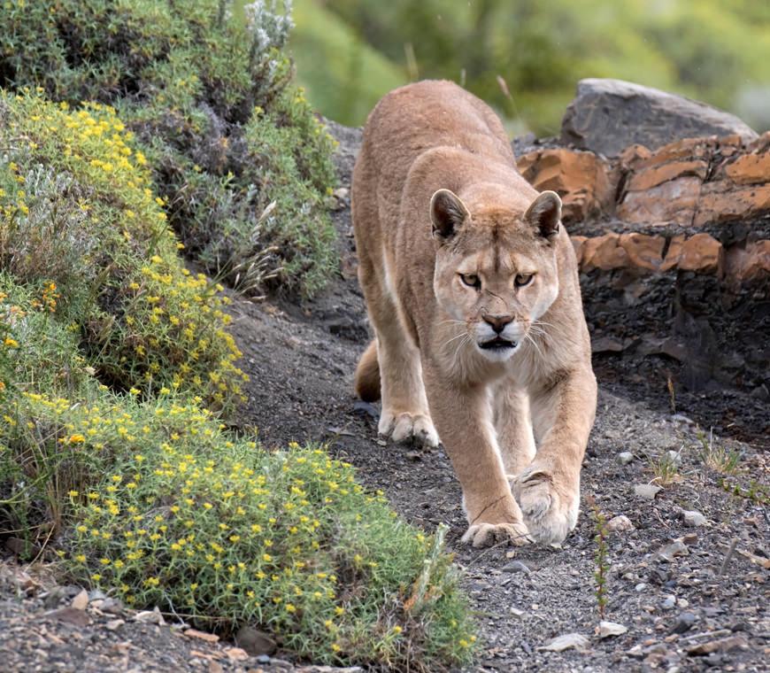 Puma Torres Del Paine Chili Reis Atacama2