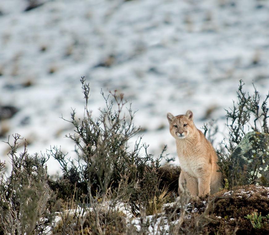Puma Torres Del Paine Chili Reis Atacama4